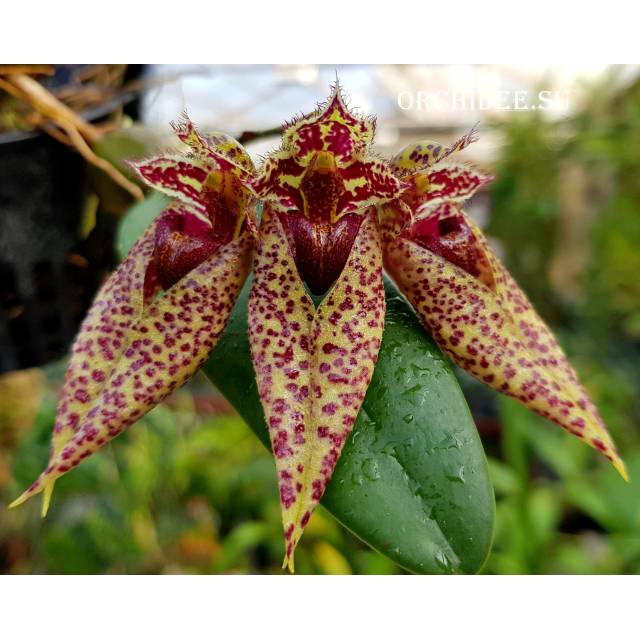 Bulbophyllum sp 01