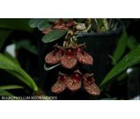 Bulbophyllum bootanoides