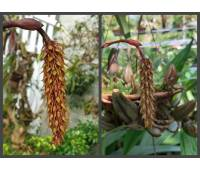 Bulbophyllum crassipes