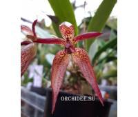 Bulbophyllum Meen Kingdom (lasiochilum x mandibulare)
