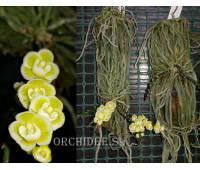 Chiloschista viridiflora x sib