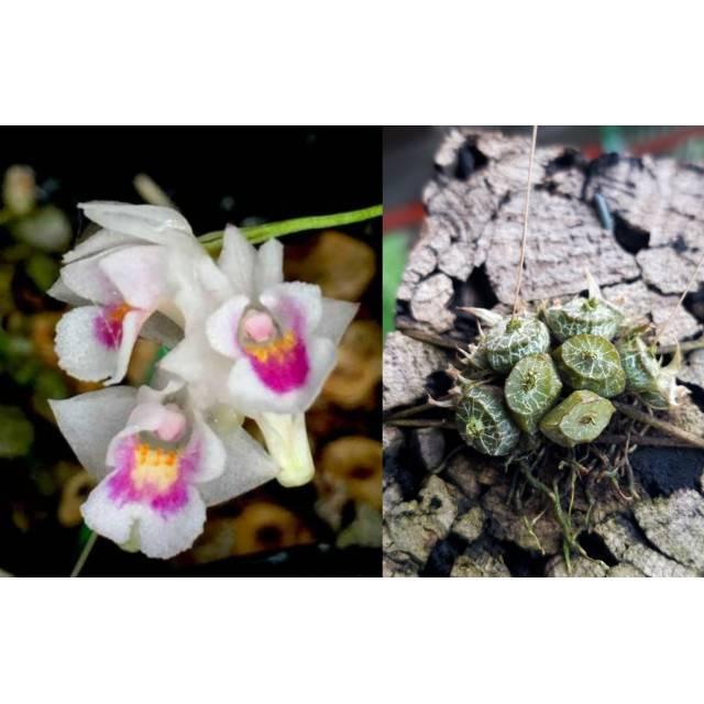 Conchidium extinctorium