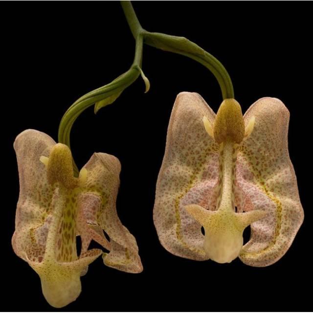 Coryanthes macrocorys
