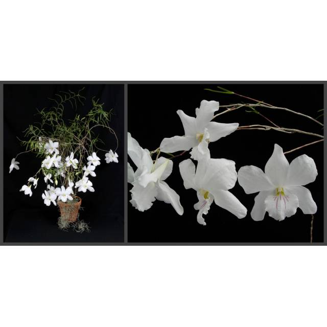Dendrobium papilo