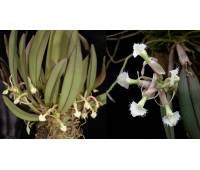 Epidendrum moronense