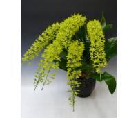 Grammatophyllum scriptum var citrinum (variegata)