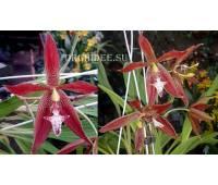 Houllinia (H. odoratissima x P. neudeckeri)