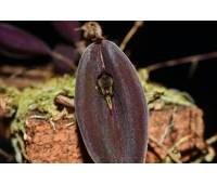 Lepanthes quasimodo