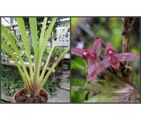 Maxillaria bicallosa