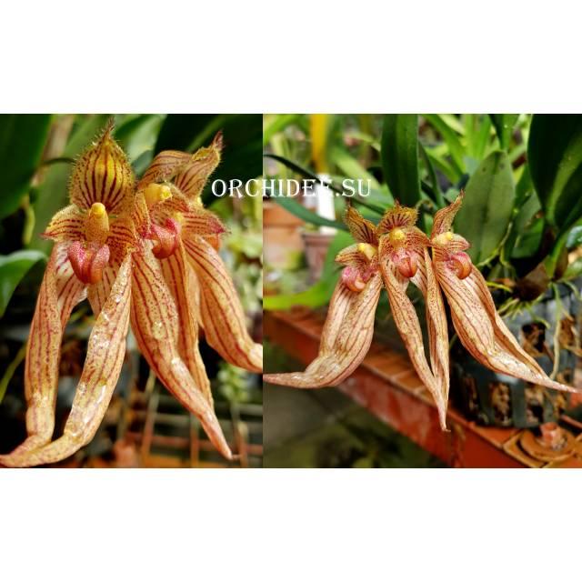 Bulbophyllum sp 02