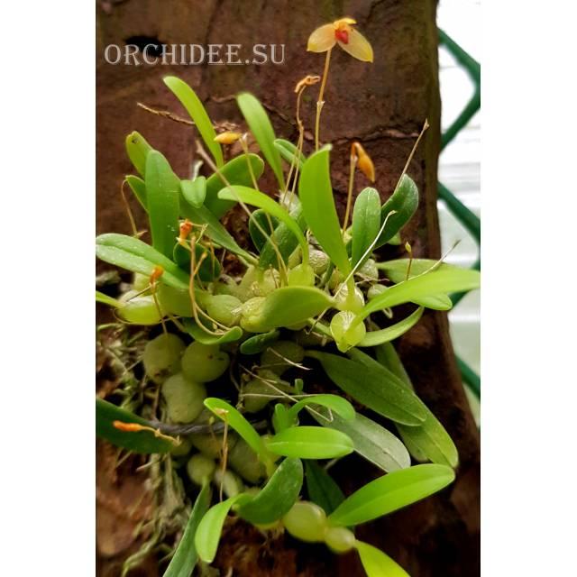 Bulbophyllum ovalifolium