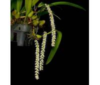 Bulbophyllum parviflorum
