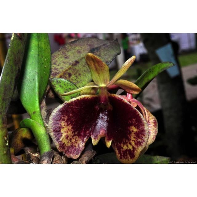 Epidendrum kockii