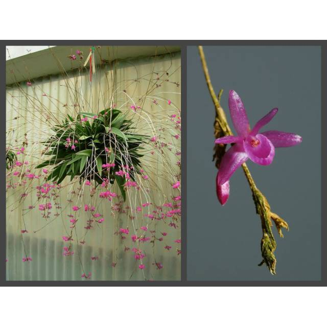 Nageliella purpurata