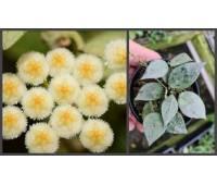 Hoya lacunosa silver leaves