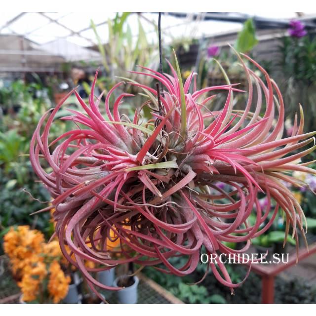 Tillandsia ionantha red