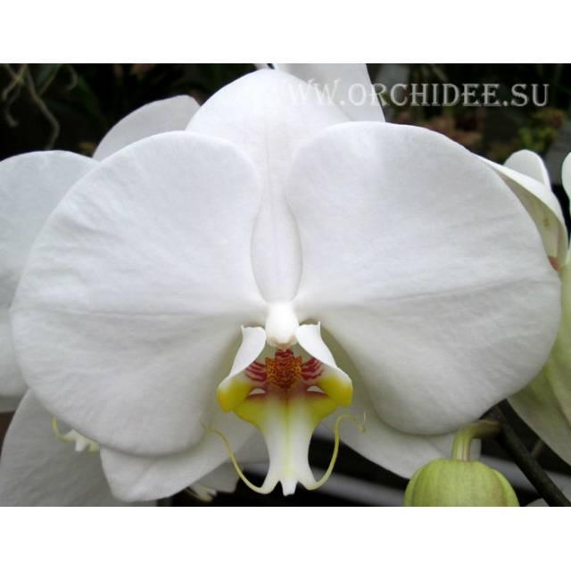 Phalaenopsis PH 047 Masudian