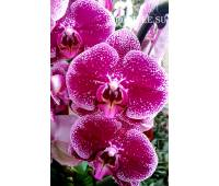 Phalaenopsis PH 045