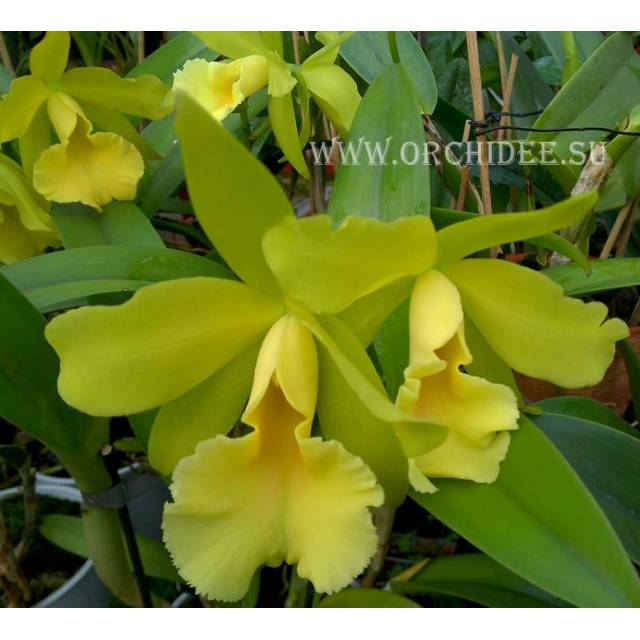 Cattleya hybrid 16