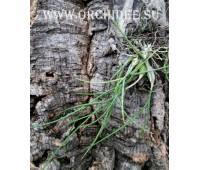 Dendrobium pseudotenellum