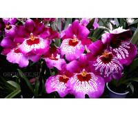 Miltoniopsis Newton Falls (Miltoniopsis Hamburg х Miltoniopsis Goodnews Bay)
