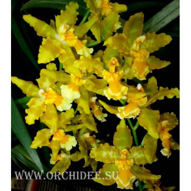 Odontoglossum Geiser Gold