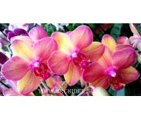 Phalaenopsis PH 075