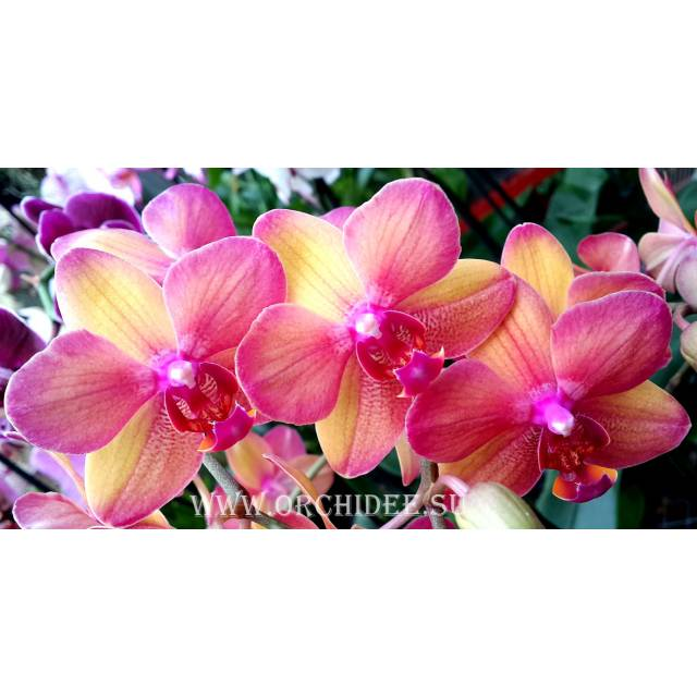 Phalaenopsis PH 075