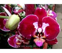 Phalaenopsis PH 092