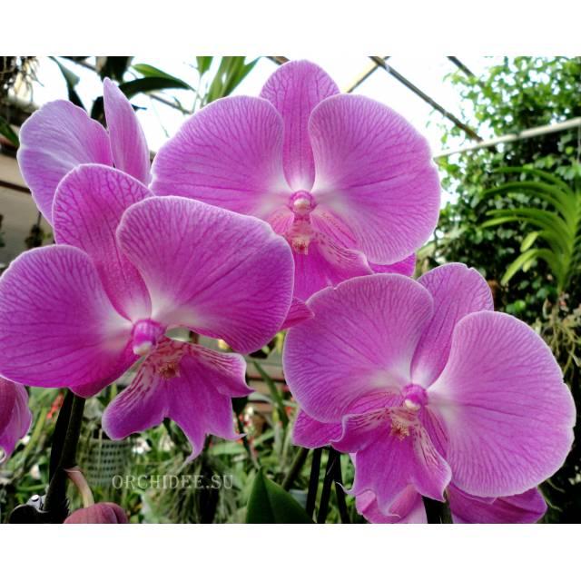 Phalaenopsis PH 224 Big Lip