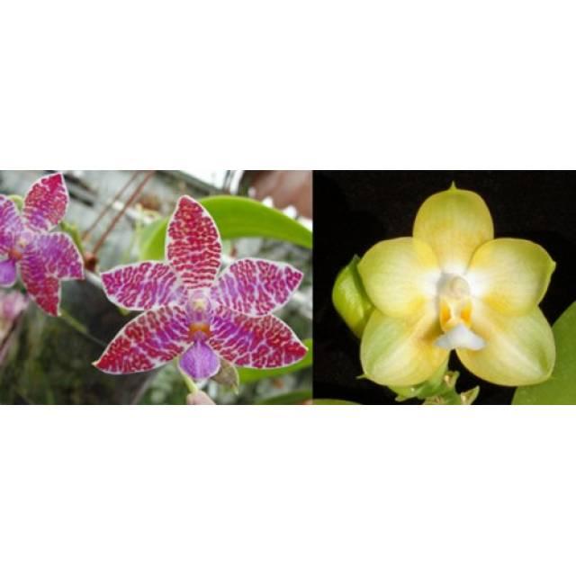 Phalaenopsis Yungho Gelb Canary x lueddemanniana 'Woodlawn'