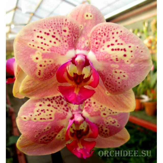 Phalaenopsis PH 029 Wild Peach