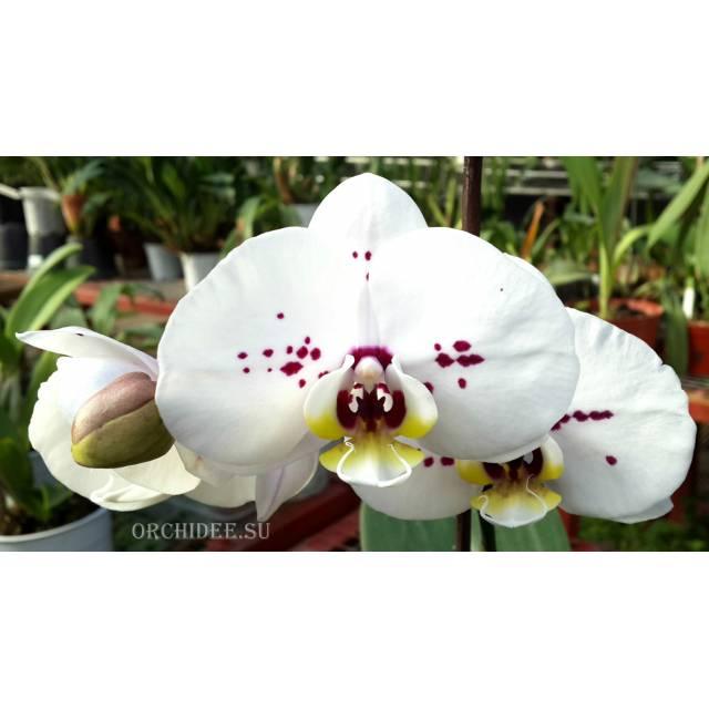 Phalaenopsis PH 034 Cadiz