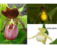 Cypripedium mix