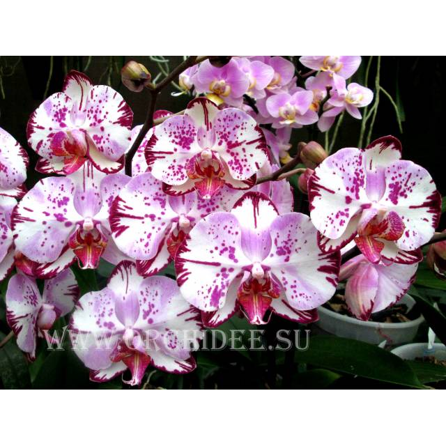 Doritaenopsis DTPS 004/1 Gan Lin Beauty