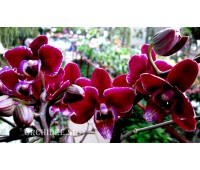 Phalaenopsis PH 070