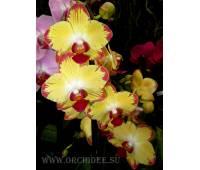 Phalaenopsis PH 083 Breezes