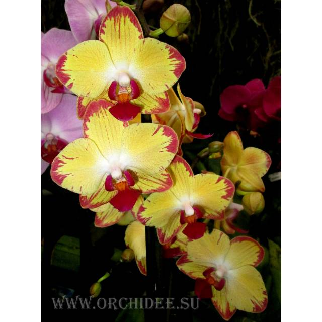 Phalaenopsis PH 083 Breezes