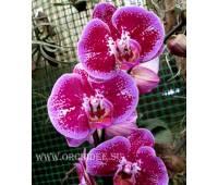 Phalaenopsis PH 086 Da Vinci