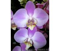 Phalaenopsis PH 087