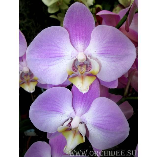 Phalaenopsis PH 087
