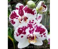 Phalaenopsis PH 090 Tango