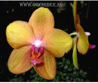 Phalaenopsis PH 094 Peabody
