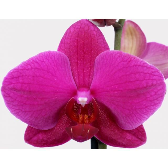 Phalaenopsis PH 095 Vivaldi