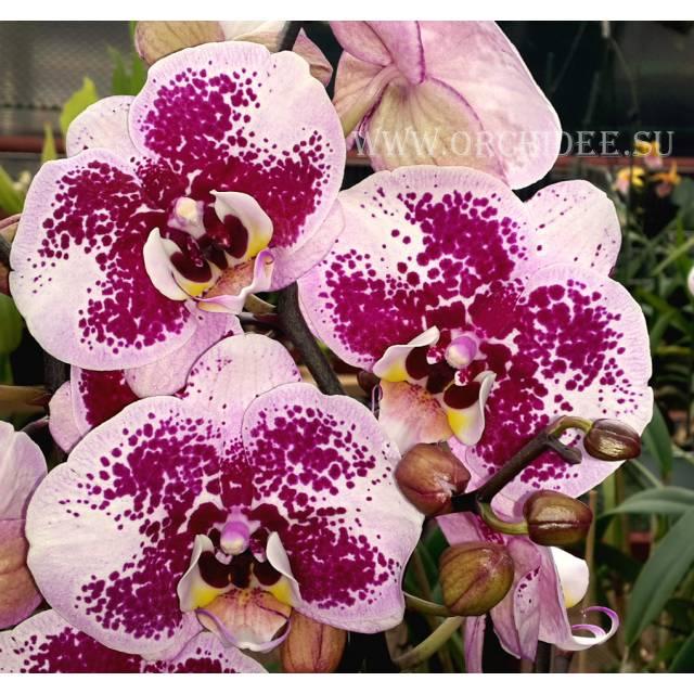Phalaenopsis PH 098