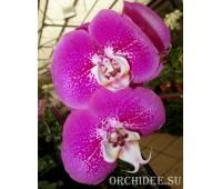 Phalaenopsis PH 116