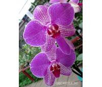Phalaenopsis PH 117