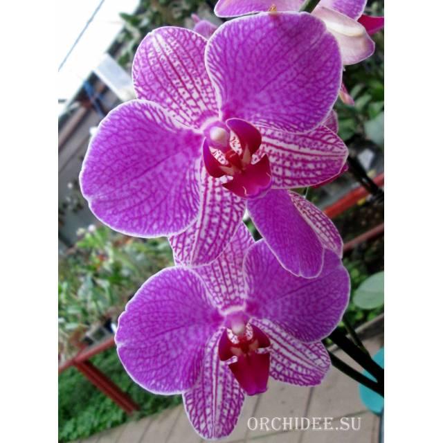 Phalaenopsis PH 117