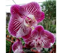 Phalaenopsis PH 118
