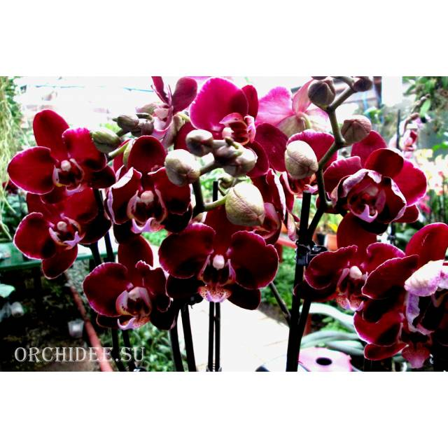 Phalaenopsis PH 120